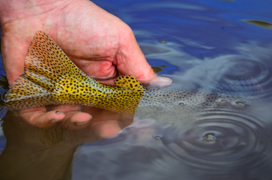 Angler release a Snake River sutthroat trout, Wyoming Range, Wyoming